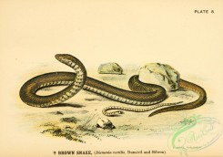 reptiles_and_amphibias-01891 - Brown Snake, diemenia textilis