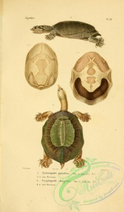 reptiles_and_amphibias-02268 - gymnopode spinifere, cryptopode chagrine
