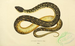 reptiles_and_amphibias-02538 - python peronii