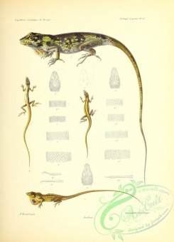 reptiles_and_amphibias-02746 - 009-Anoliens