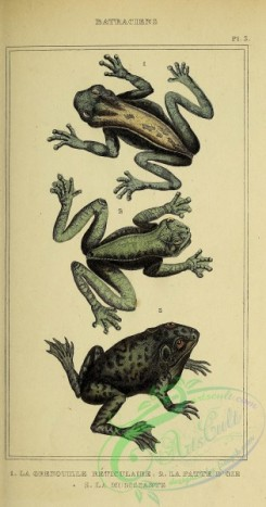reptiles_and_amphibias-02989 - 020-Frogs, Toads