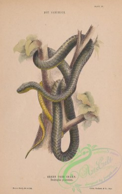 reptiles_and_amphibias-03048 - 004-Green Tree Snake, dendrophis punctulata