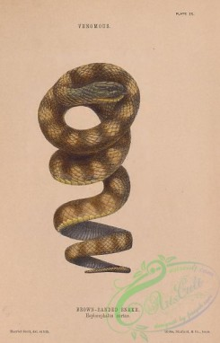 reptiles_and_amphibias-03053 - 009-Brown-banded Snake, hoplocephalus curtus