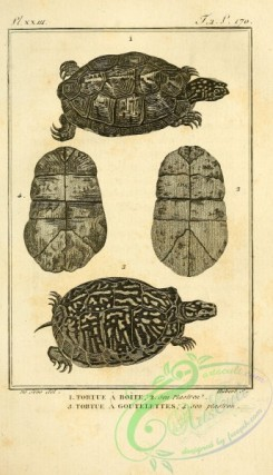 reptiles_and_amphibias_bw-00128 - 008-tortue a boite (Fr), tortue a goutelettes (Fr)