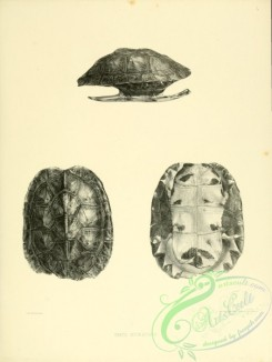 reptiles_and_amphibias_bw-00711 - 020-emys nigracans