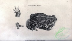 reptiles_and_amphibias_bw-00868 - 043-Mephitic Toad