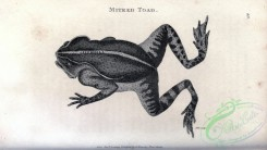 reptiles_and_amphibias_bw-00870 - 045-Mitred Toad