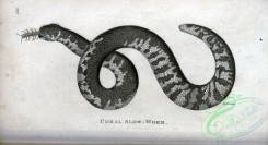 reptiles_and_amphibias_bw-00945 - 034-Coral Slow-Worm