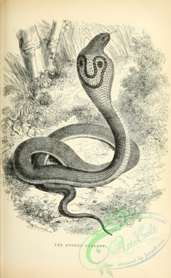 reptiles_and_amphibias_bw-00994 - 003-Hooded Serpent