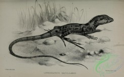 reptiles_and_amphibias_bw-01279 - black-and-white 070-lophognathus maculilabris