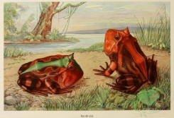 reptiles_and_amphibias_full_color-00004 - Horned frog