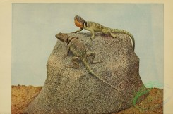 reptiles_and_amphibias_full_color-00020 - crotaphylus collaris, Collared Lizard