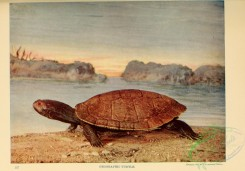reptiles_and_amphibias_full_color-00022 - Geographic Turtle