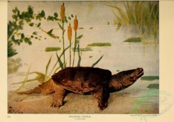 reptiles_and_amphibias_full_color-00023 - Snapping Turtle