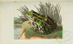 reptiles_and_amphibias_full_color-00024 - rana esculenta, Green Frog