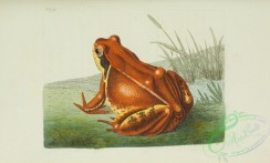 reptiles_and_amphibias_full_color-00025 - rana temporaria, Common Frog