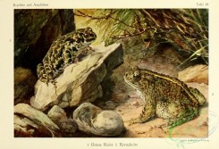 reptiles_and_amphibias_full_color-00040 - bufo viridis, bufo calamita