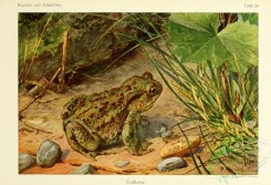 reptiles_and_amphibias_full_color-00041 - bufo vulgaris