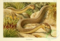 reptiles_and_amphibias_full_color-00042 - coluber longissimus