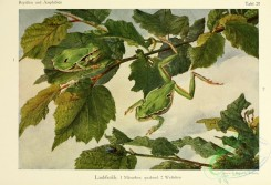 reptiles_and_amphibias_full_color-00045 - hyla arborea