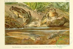 reptiles_and_amphibias_full_color-00054 - pelobates fuscus
