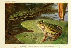 reptiles_and_amphibias_full_color-00057 - rana esculenta