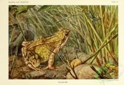 reptiles_and_amphibias_full_color-00058 - rana temporaria