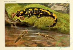 reptiles_and_amphibias_full_color-00060 - salamandra maculosa