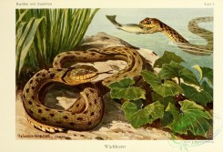 reptiles_and_amphibias_full_color-00062 - tropidonotus tesselatus