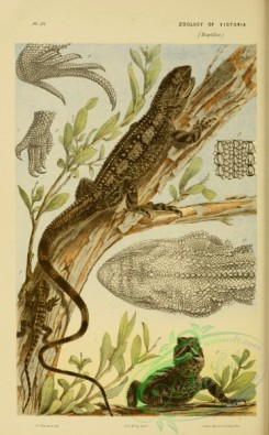 reptiles_and_amphibias_full_color-00067 - grammatophora muricata, Blood-sucker