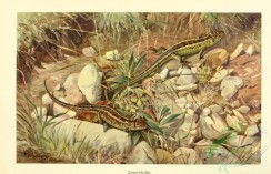 reptiles_and_amphibias_full_color-00074 - lacerta agilis