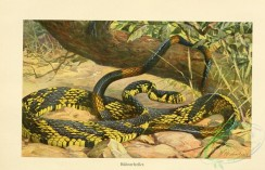 reptiles_and_amphibias_full_color-00080 - spilotes pullatus