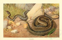 reptiles_and_amphibias_full_color-00082 - vipera berus