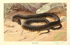reptiles_and_amphibias_full_color-00083 - zamenis hippocrepis