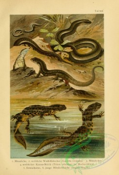 reptiles_and_amphibias_full_color-00089 - lacerta vivipara, triton cristatus, anguis fragilis