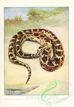 reptiles_and_amphibias_full_color-00099 - West African Python
