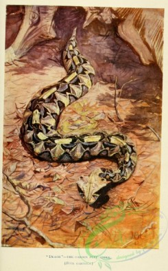 reptiles_and_amphibias_full_color-00101 - Gaboon Puff Adder, bitis gabonica