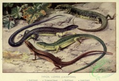reptiles_and_amphibias_full_color-00107 - Sand Lizard, Viviparous Lizard, Wall Lizard, Green Lizard