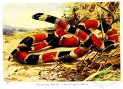 reptiles_and_amphibias_full_color-00109 - Coral Snake, elaps corallinus