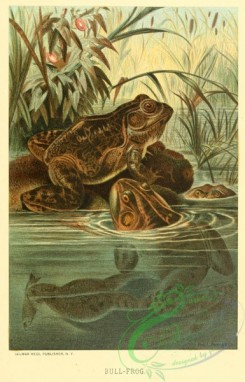 reptiles_and_amphibias_full_color-00116 - Bull-Frog