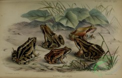 reptiles_and_amphibias_full_color-00118 - rana arvalis