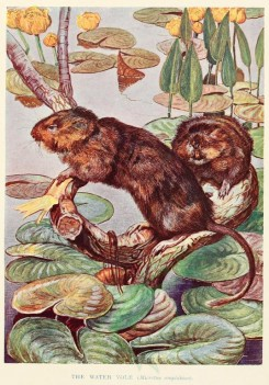 rodents-00005 - WATER VOLE [2094x2999]