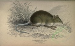 rodents-00010 - LONGTOED SPINOUS RAT [3694x2278]
