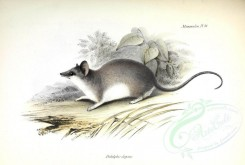 rodents-00019 - Elegant fat-tailed mouse opossum [3488x2347]