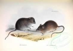 rodents-00027 - Olive Grass Mouse, Long-tailed pygmy rice rat [3531x2446]