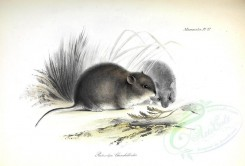 rodents-00028 - Patagonian chinchilla mouse [3510x2384]