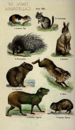 rodents-00037 - Guinea Pig, Chinchilla, Porcupine, Rabbit, Capybara, Hare, Golden Agouti, Syrian Hyrax [2396x4106]