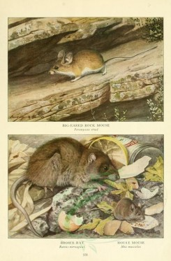 rodents-00044 - Big-eared Rock Mouse, Brown Rat, House Mouse [2419x3677]