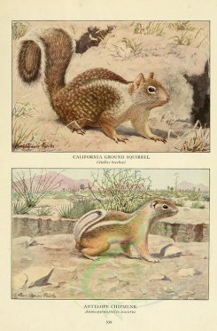 rodents-00045 - Calfornia Ground Squirrel, Antelope Chipmunk [2419x3677]