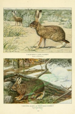 rodents-00046 - California Jack Rabbit, Varying Hare or Snowshoe Rabbit [2419x3677]